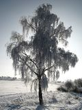 Frozen birch. In winter morning Royalty Free Stock Photography