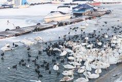 Frozen birds on the river Danube Royalty Free Stock Photo