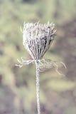 Frozen Bishop's Flower - Vintage, Faded Stock Image