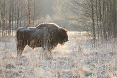Frozen bison. Massive wild european bison in Poland Royalty Free Stock Image