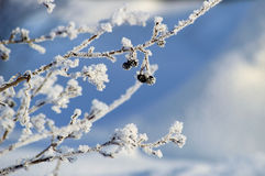 Frozen black berry Stock Images