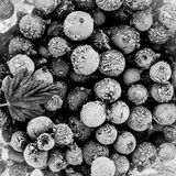 Frozen black currant black and white Royalty Free Stock Photography