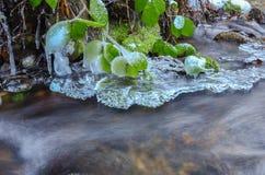 Frozen blackberry leaves Royalty Free Stock Photo