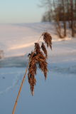 A frozen blade of grass in the winter Royalty Free Stock Photo
