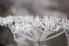 Frozen blades of grass, Icy blade of grass. Stock Photo