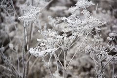 Frozen blades of grass, Icy blade of grass. Stock Photography
