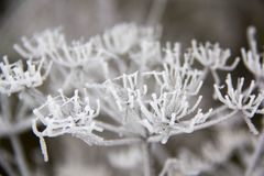 Frozen blades of grass, Icy blade of grass. Royalty Free Stock Photography