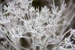 Frozen blades of grass, Icy blade of grass. Stock Image