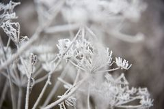 Frozen blades of grass, Icy blade of grass. Stock Photos