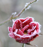 Frozen bloom Royalty Free Stock Photography