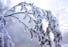 Frozen branch Stock Photo