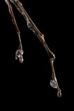 Frozen branch. With melting ice on it isolated on black stock image