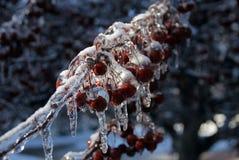 Frozen Branch Stock Images