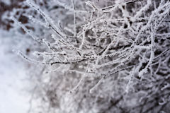 Frozen branch covered with snow Royalty Free Stock Photo