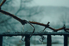Frozen branch on hard winter. Common grape vine frozen on the outside while holding to a fence stock photography