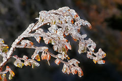 Frozen branch. Icy branch in autumn after ice rain Royalty Free Stock Photo