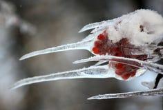 Frozen branch of mountain ash Stock Image
