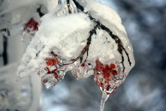Frozen branch of mountain ash Royalty Free Stock Images