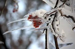 Frozen branch of mountain ash Royalty Free Stock Photos