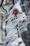 Frozen branch of mountain ash Stock Images