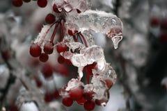 Frozen branch of mountain ash Royalty Free Stock Photos