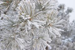 Frozen branch of pine. Hoar-frost on frozen pine stock photos