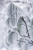 Frozen branch of pine. Stock Images