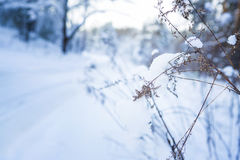 Frozen branch in snow Royalty Free Stock Photo