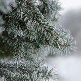 Frozen branch of spruce Stock Photo