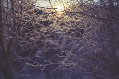 Frozen branch in sunset, winter and snowy background Royalty Free Stock Image