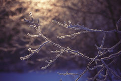 Frozen branch in sunset, winter and snowy background Royalty Free Stock Photography