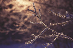 Frozen branch in sunset, winter and snowy background Stock Photo