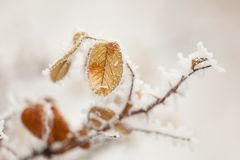 Frozen branch of tree with one leaf Royalty Free Stock Photo