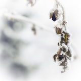 Frozen branch. On white background Stock Photography