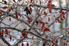 Frozen branch wild rose hips Stock Photography