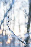 Frozen branch in winter , in the background sun rays Royalty Free Stock Images