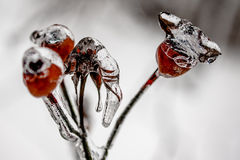Frozen Branch in Winter Royalty Free Stock Photography