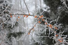 Frozen Branch With Berries Of Sea-buckthorn In Winter Royalty Free Stock Photo