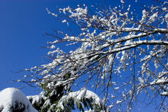 Frozen branches. Winter time, branches covered in snow with a blue sky as background royalty free stock images