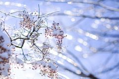 Frozen branches affected by frost. Budding tree damaged by frost. Frozen tree branch in winter royalty free stock photos