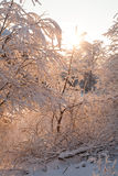 Frozen branches backlit. Frozen trees, wintertime, sunset Stock Photography