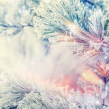 Frozen Branches of cedars or fir on winter day snow background. Outdoor Royalty Free Stock Photos