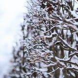 Frozen branches closeup Stock Photos