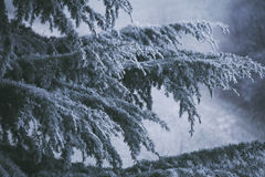 Frozen branches of evergreen tree Royalty Free Stock Image