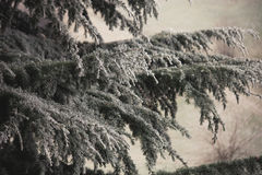 Frozen branches of evergreen tree closeup Royalty Free Stock Photography