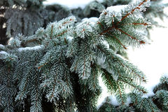 Frozen branches of fir tree Royalty Free Stock Images