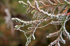 Frozen branches of juniper Stock Photography