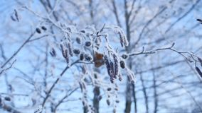 Frozen branches linden tree in the snow on a blue sky nature winter landscape stock footage
