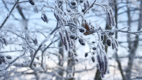 Frozen branches linden tree in the snow on a blue sky winter nature landscape stock footage