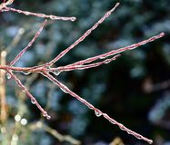 Frozen branches. Rays of sunlight through frozen branches Royalty Free Stock Photos